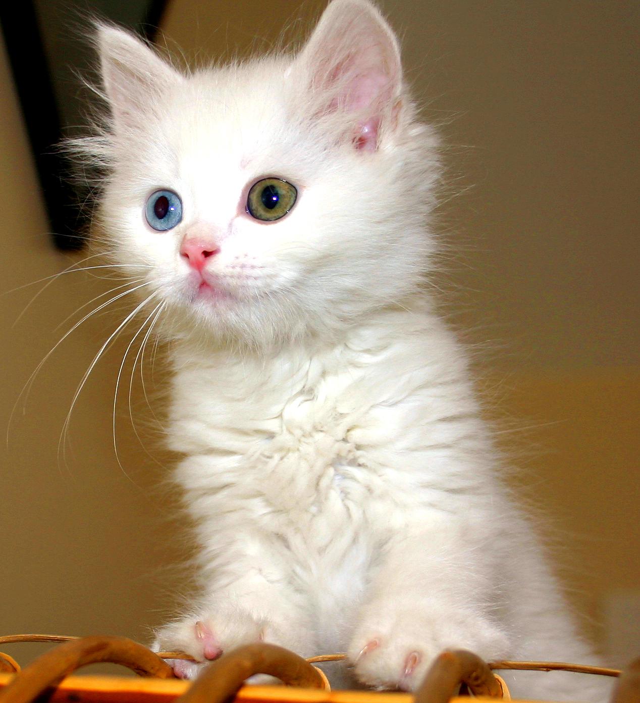 6fdf73a439 Van cat - Wikipedia