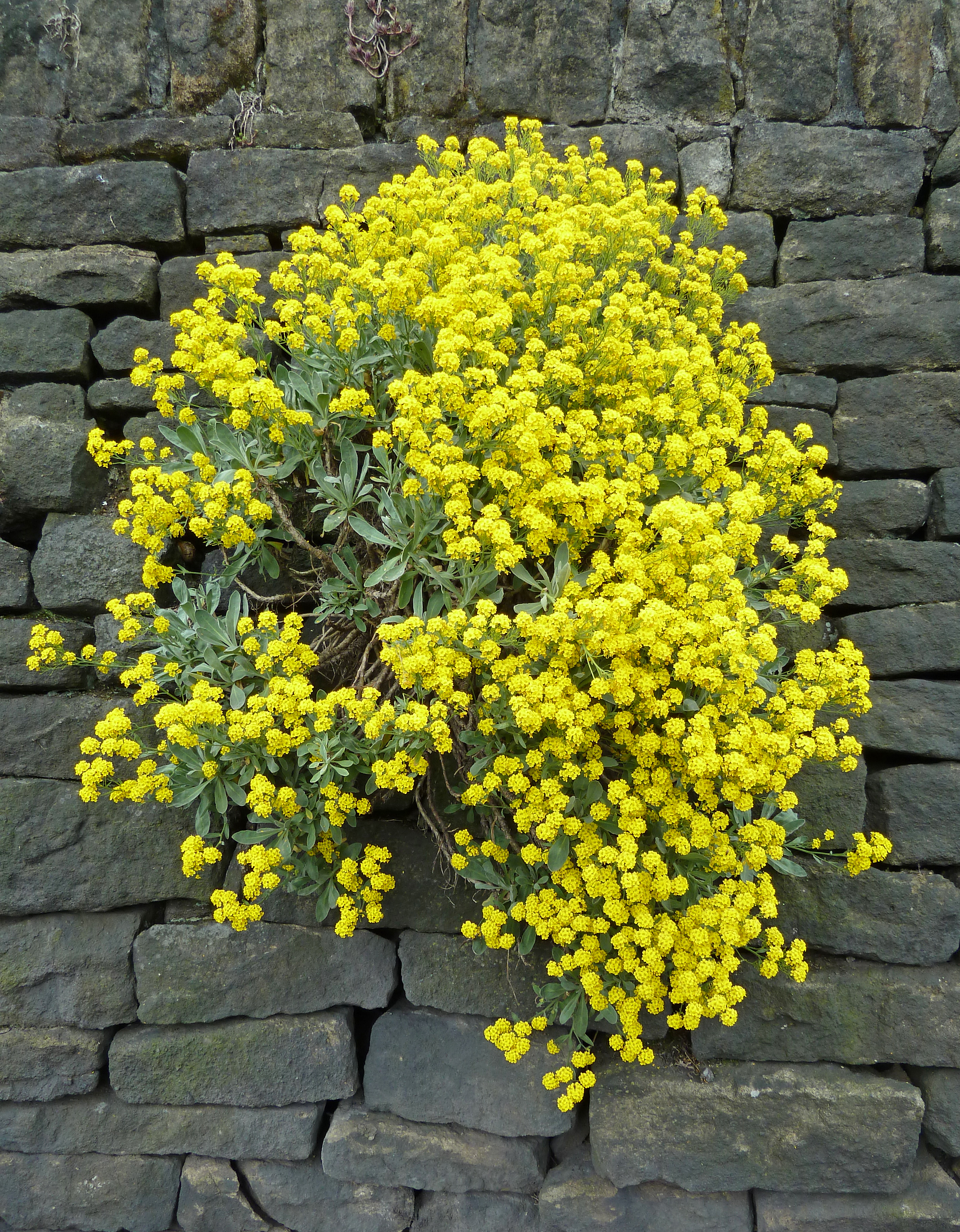 Fileyellow Flowers In The Wallg Wikimedia Commons
