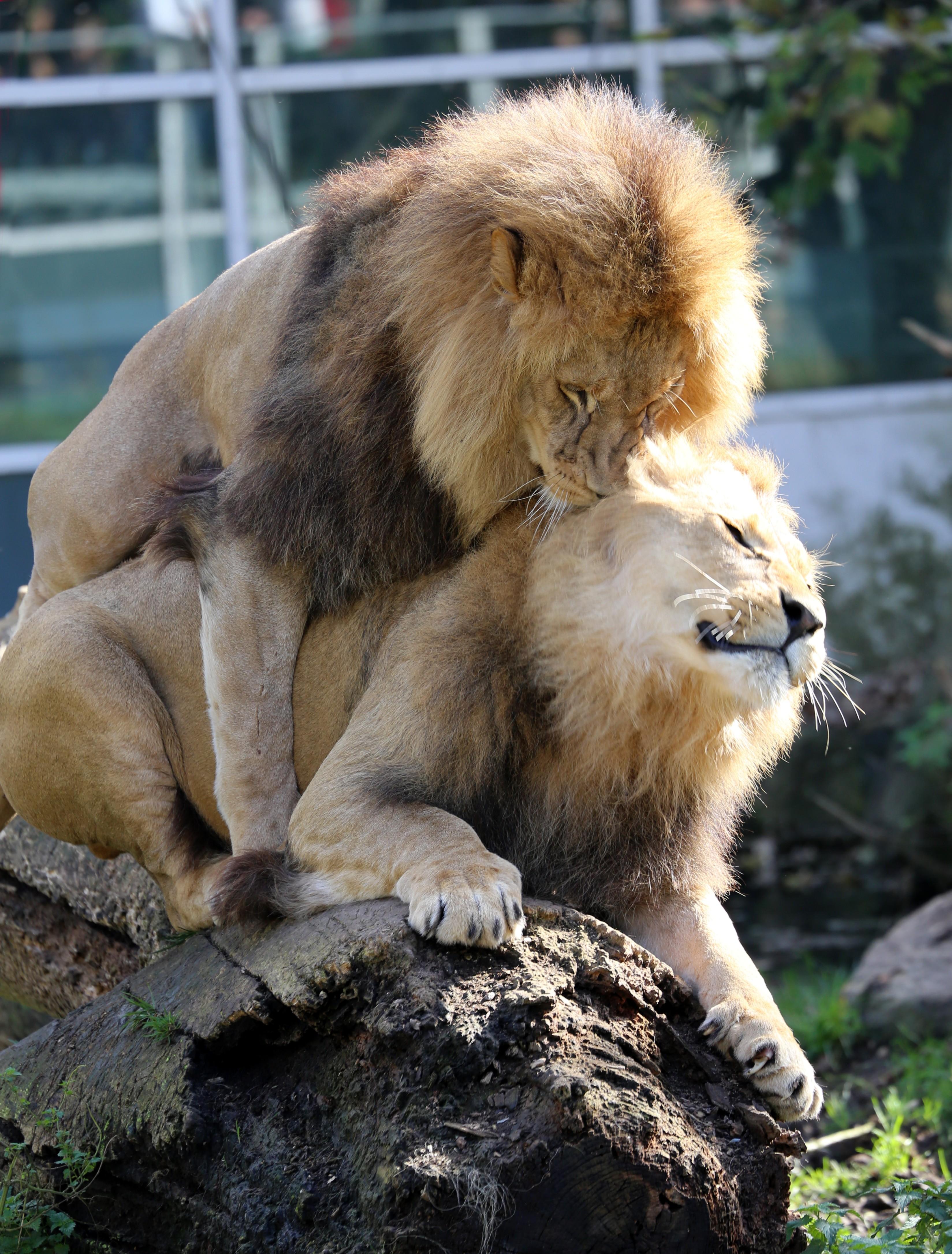 Zwei_junge_maennliche_Loewen_Panthera_leo_Tierpark_Hellabrunn-4 The History of Homosexuality: Being Gay