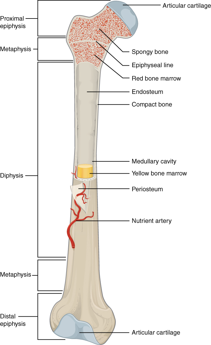 Compact Bone Diagram Labeled