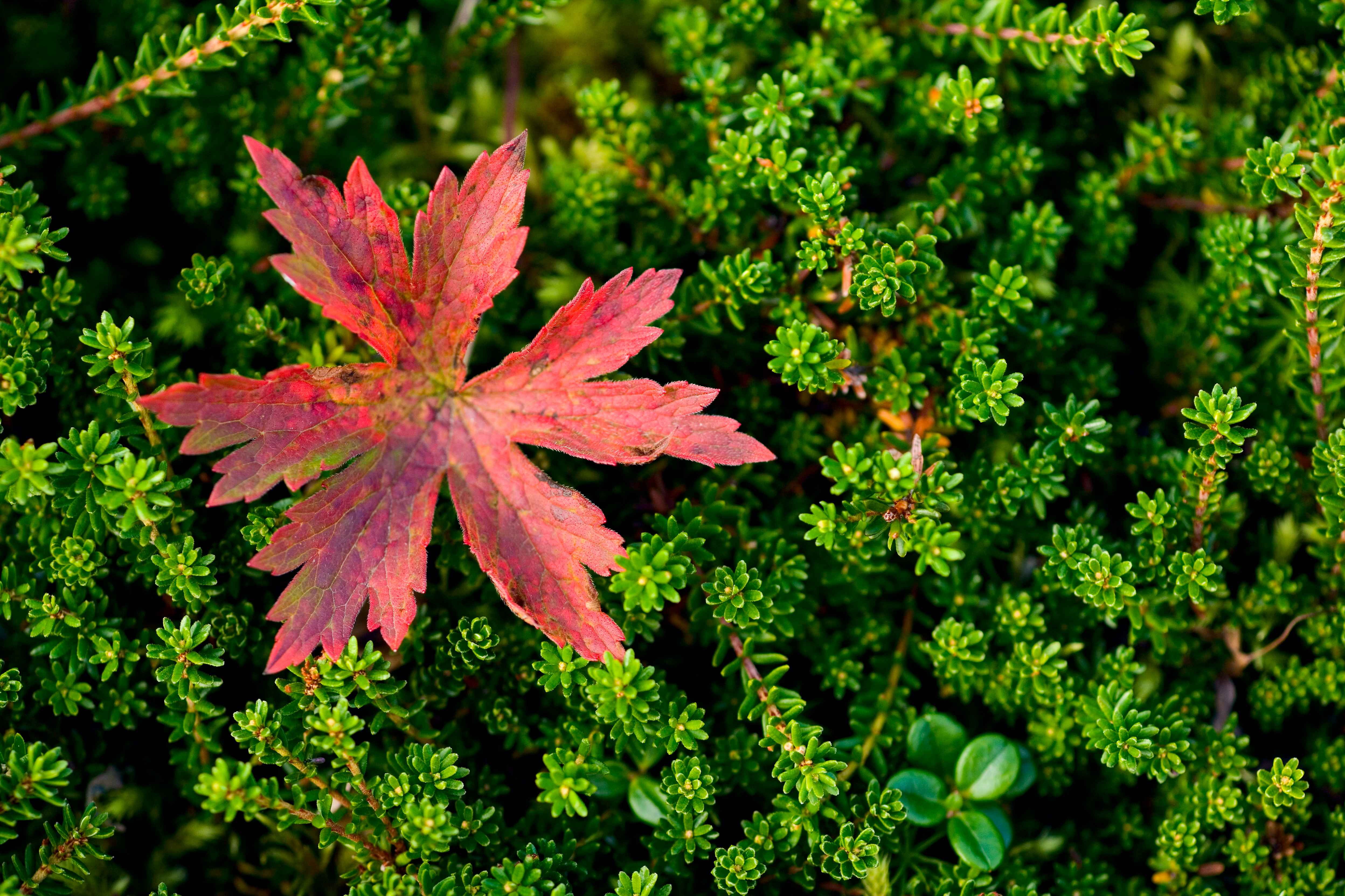 filea red leaf stands out against lively green plants, Natural flower