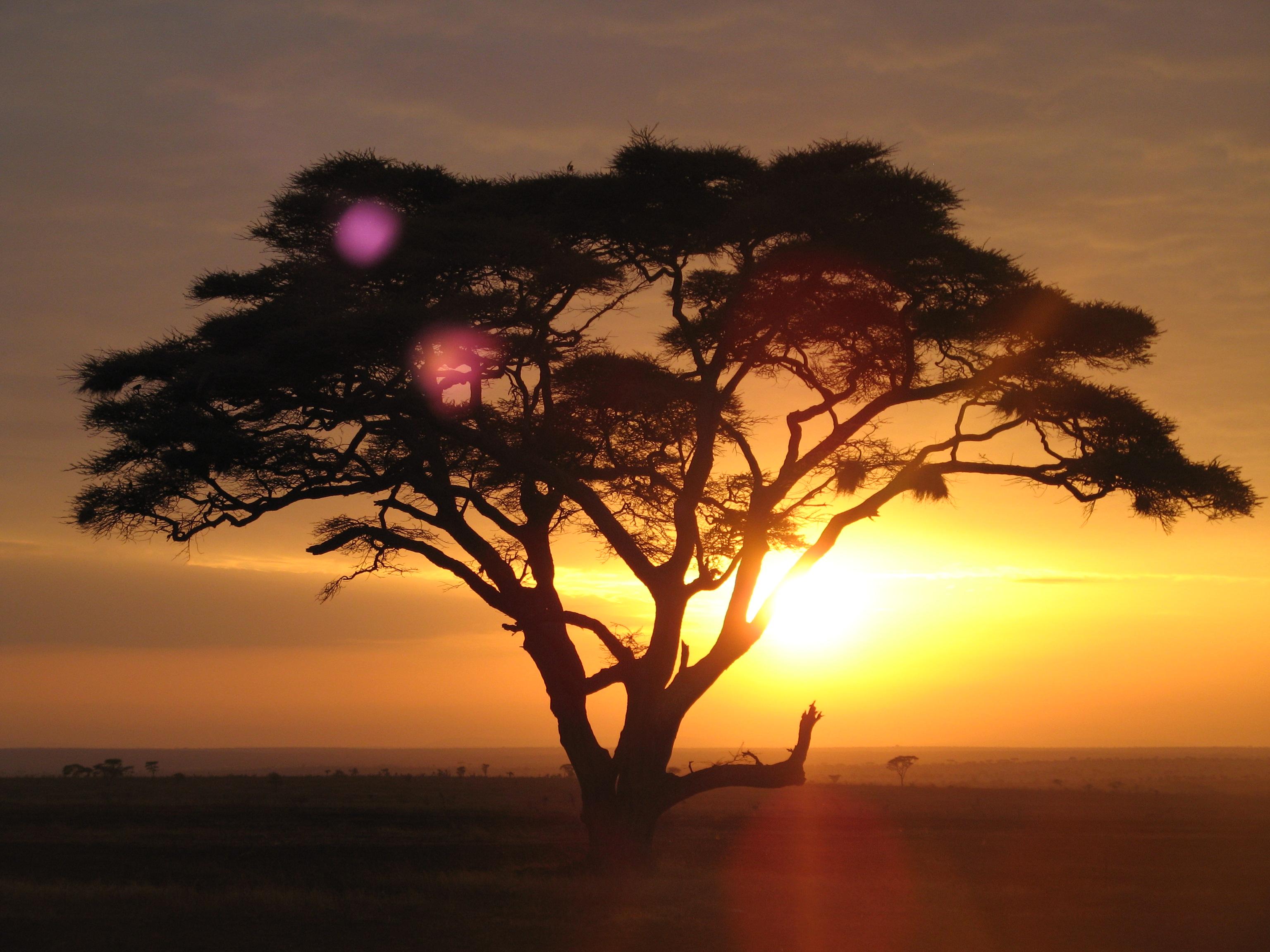 Description Acacia Tree On A Sunrise Safari At The Serengeti National