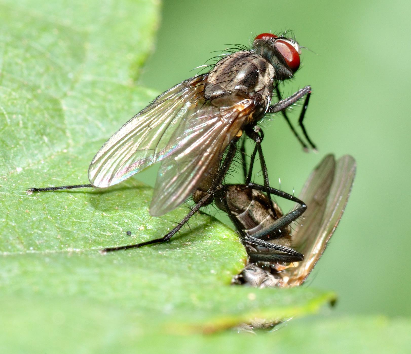 Anthomyiidae - Wikipedia