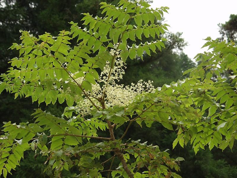 fleurs et feuilles de l'aralia elata