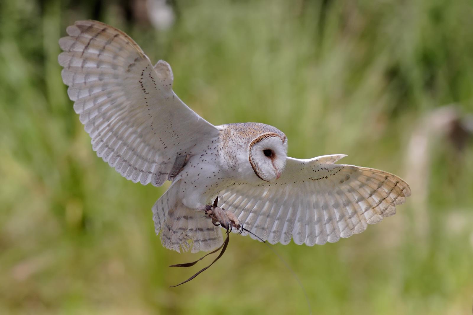 File Australian Barn Owl Jpg Wikimedia Commons