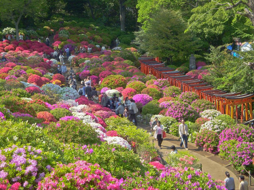 azaleia no jardim japonês; jardim japones