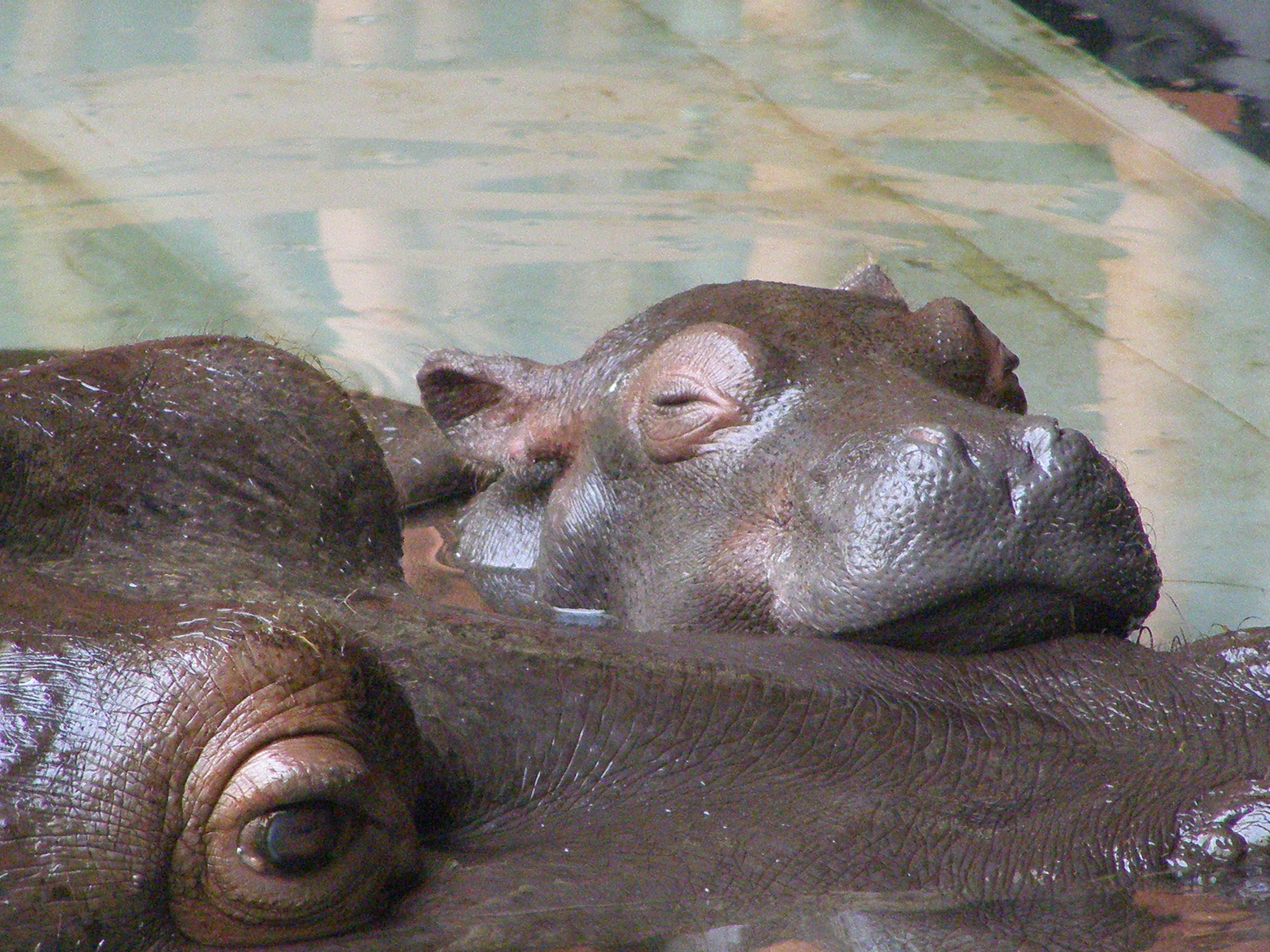 K Lite Hippo File File:Baby hippo restin...