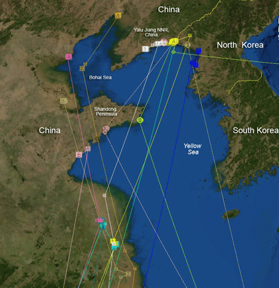 Yellow sea wikiwand migration paths and resting grounds of bar tailed godwit at the yellow sea gumiabroncs Gallery