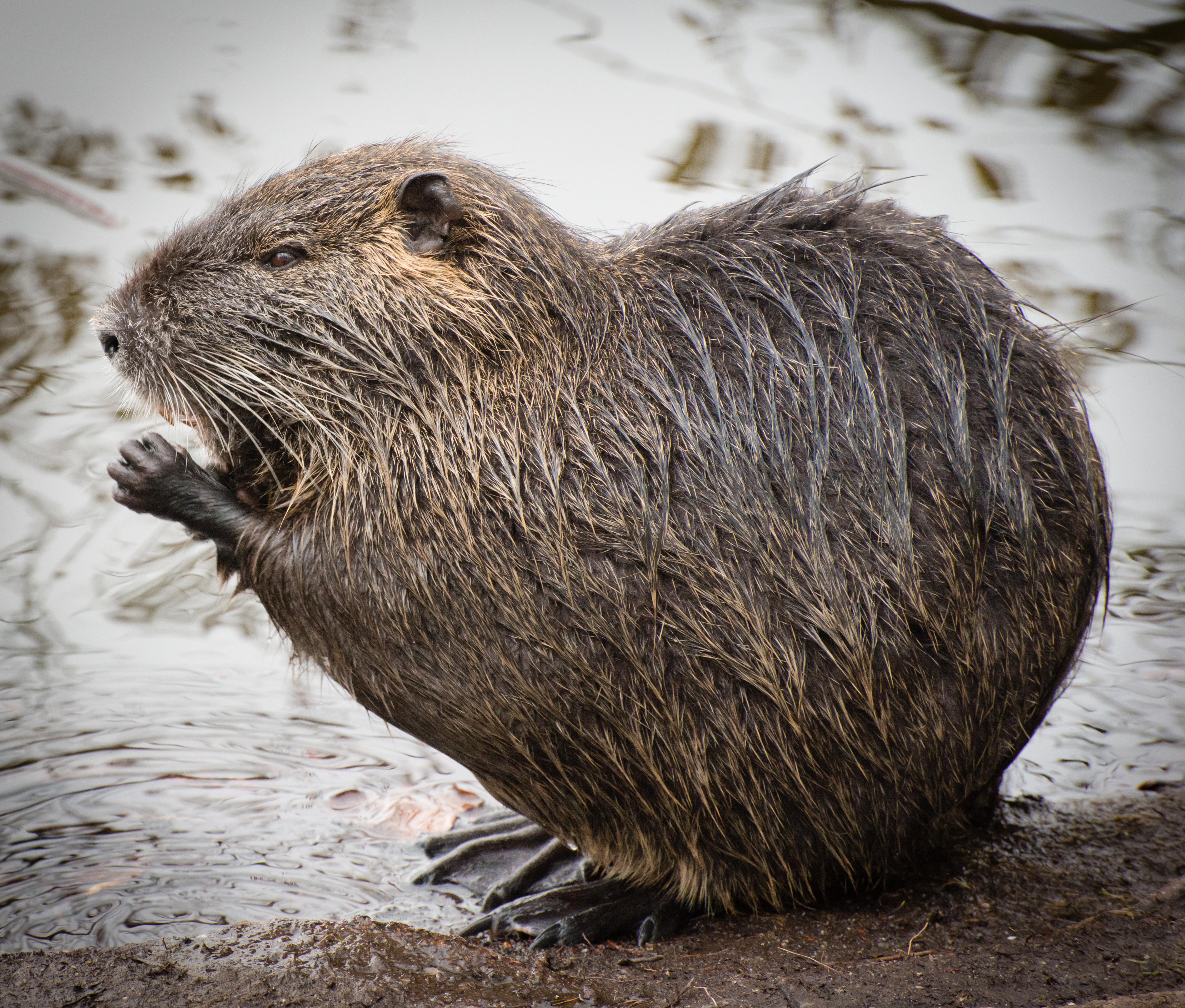 Beaver Looks Like Prairie Dog In Ny