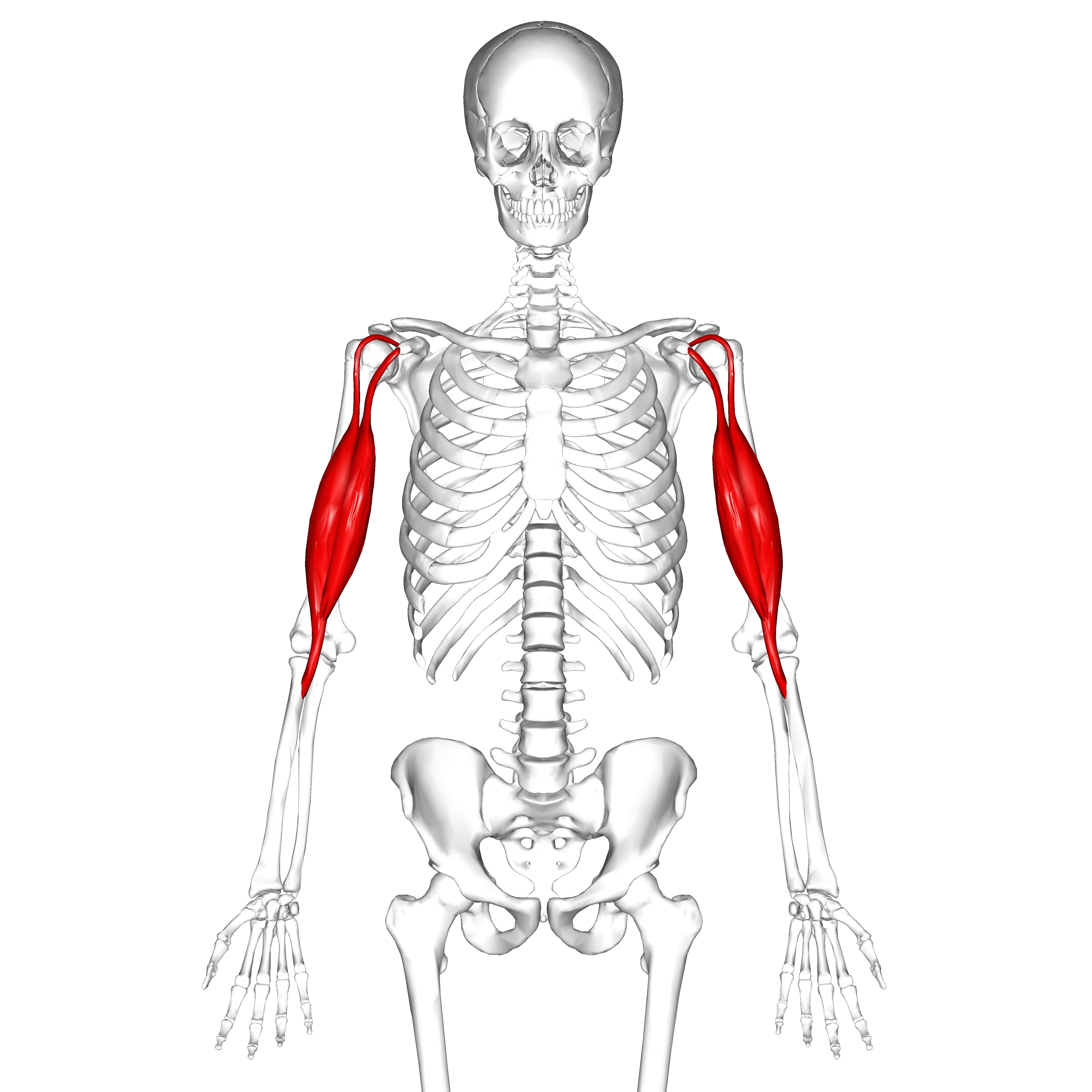 biceps brachii muscle - photo #3