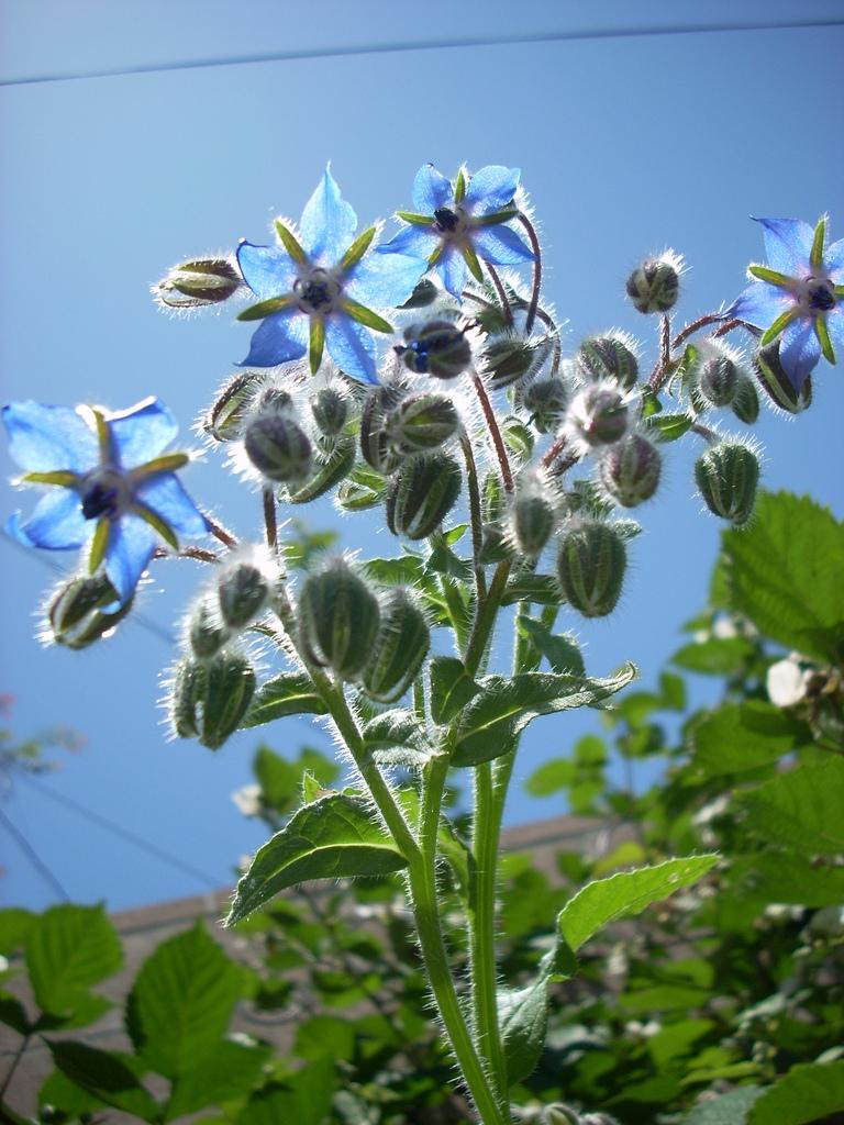 http://upload.wikimedia.org/wikipedia/commons/2/23/Blue_borage_flowers_2526205868_6b35bbac29_b.jpg