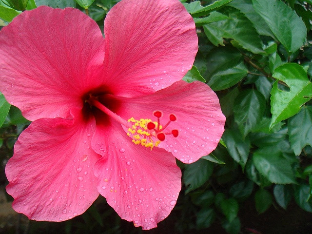 hibiscus  howlingpixel, Beautiful flower