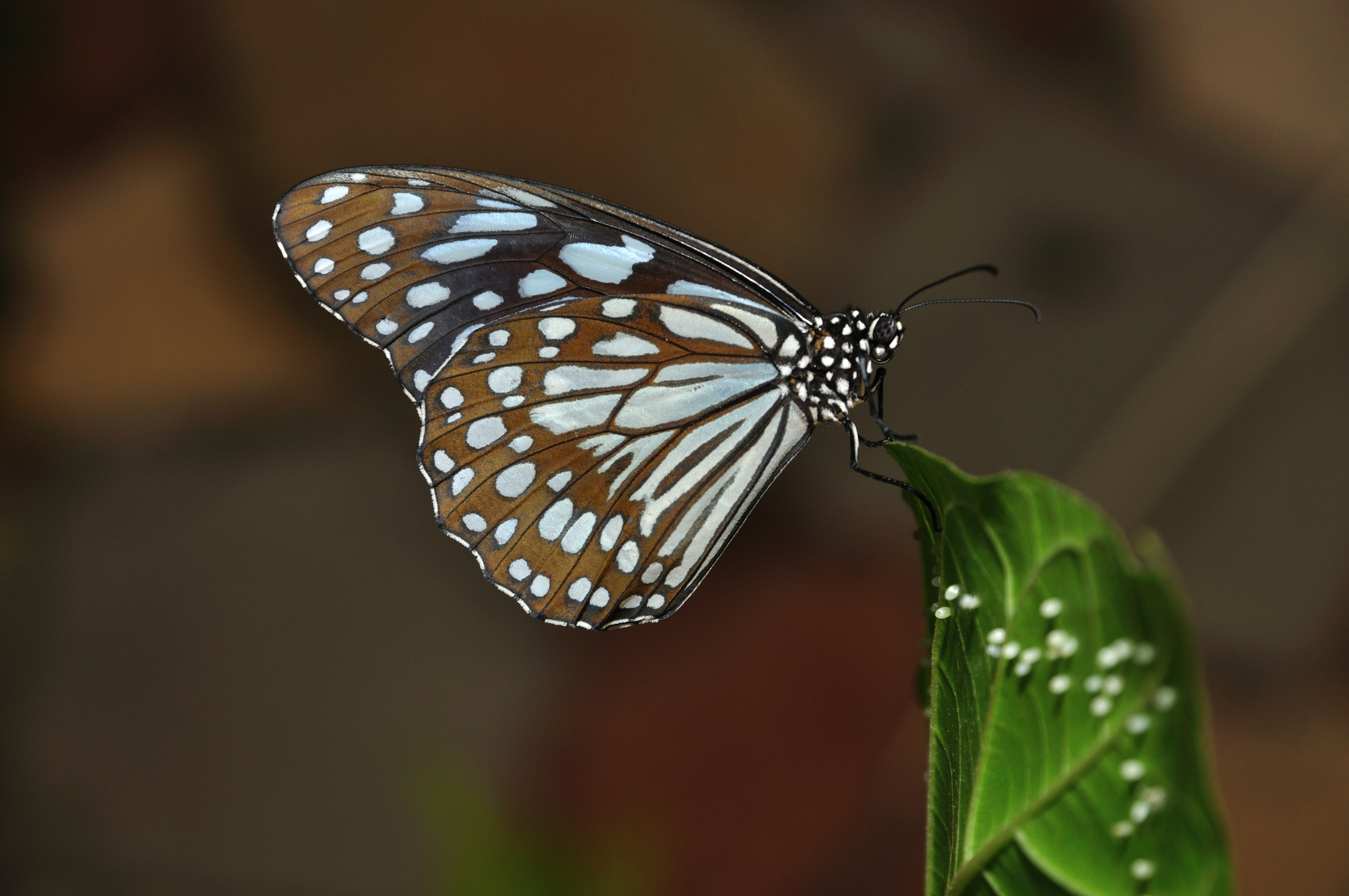 A full grown butterfly with eggs in controlled environment at Science City, Kolkata.