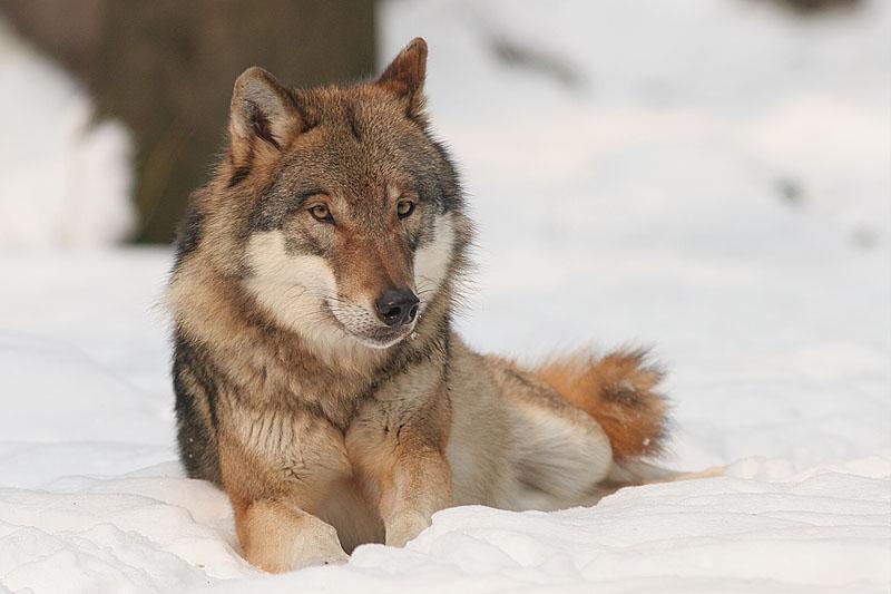 Vlk - mäsožravec