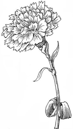 Carnation Flower Line Drawing : File carnation psf grayscale wikimedia commons