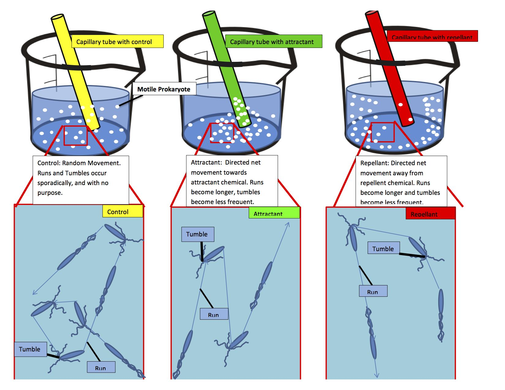 Chemotaxis Wikipedia The Structures In Prokaryotic Cell As Indicated Diagram