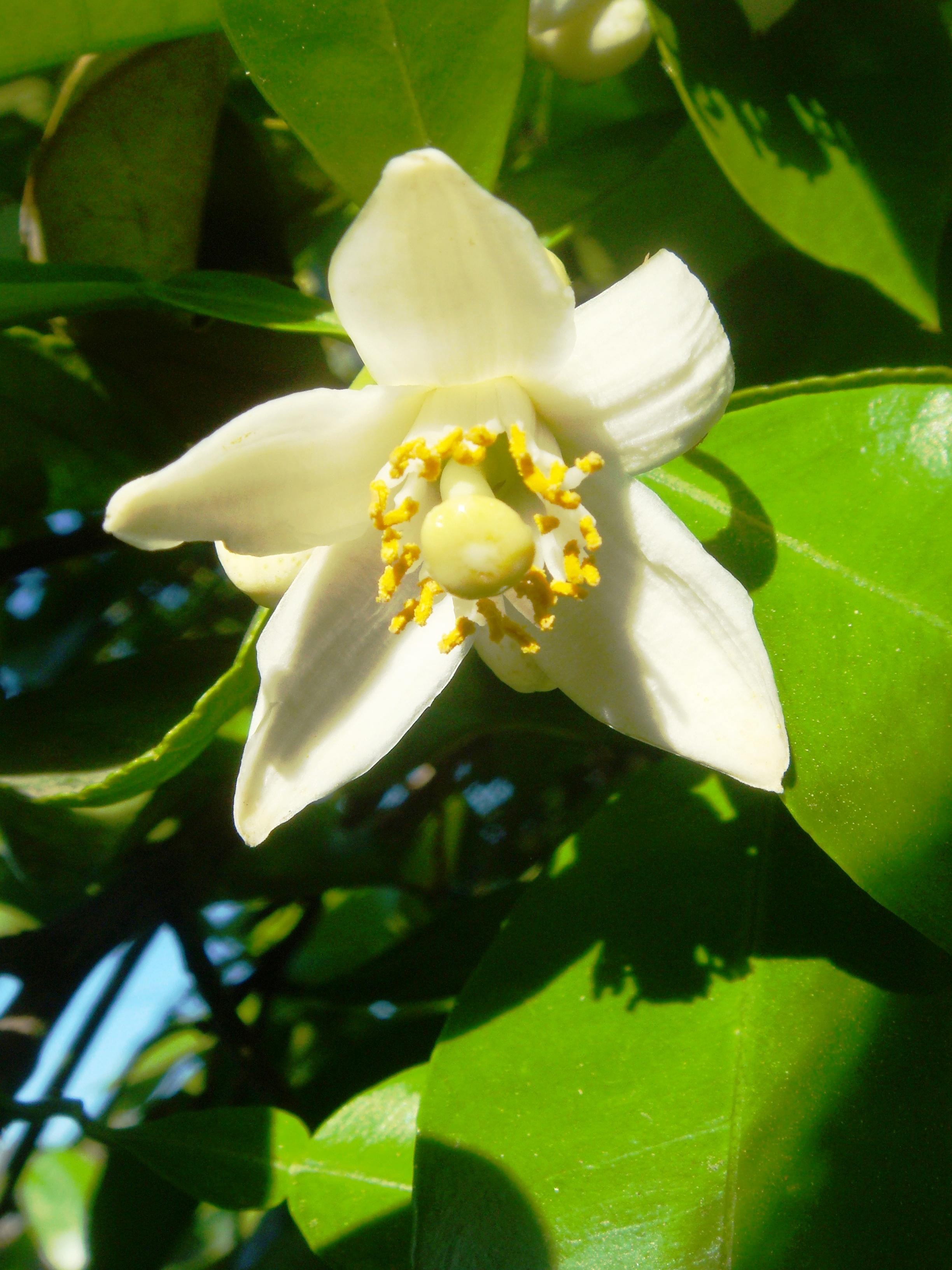 Citrus Sinensis Distribution File:citrus-sinensis-20080322
