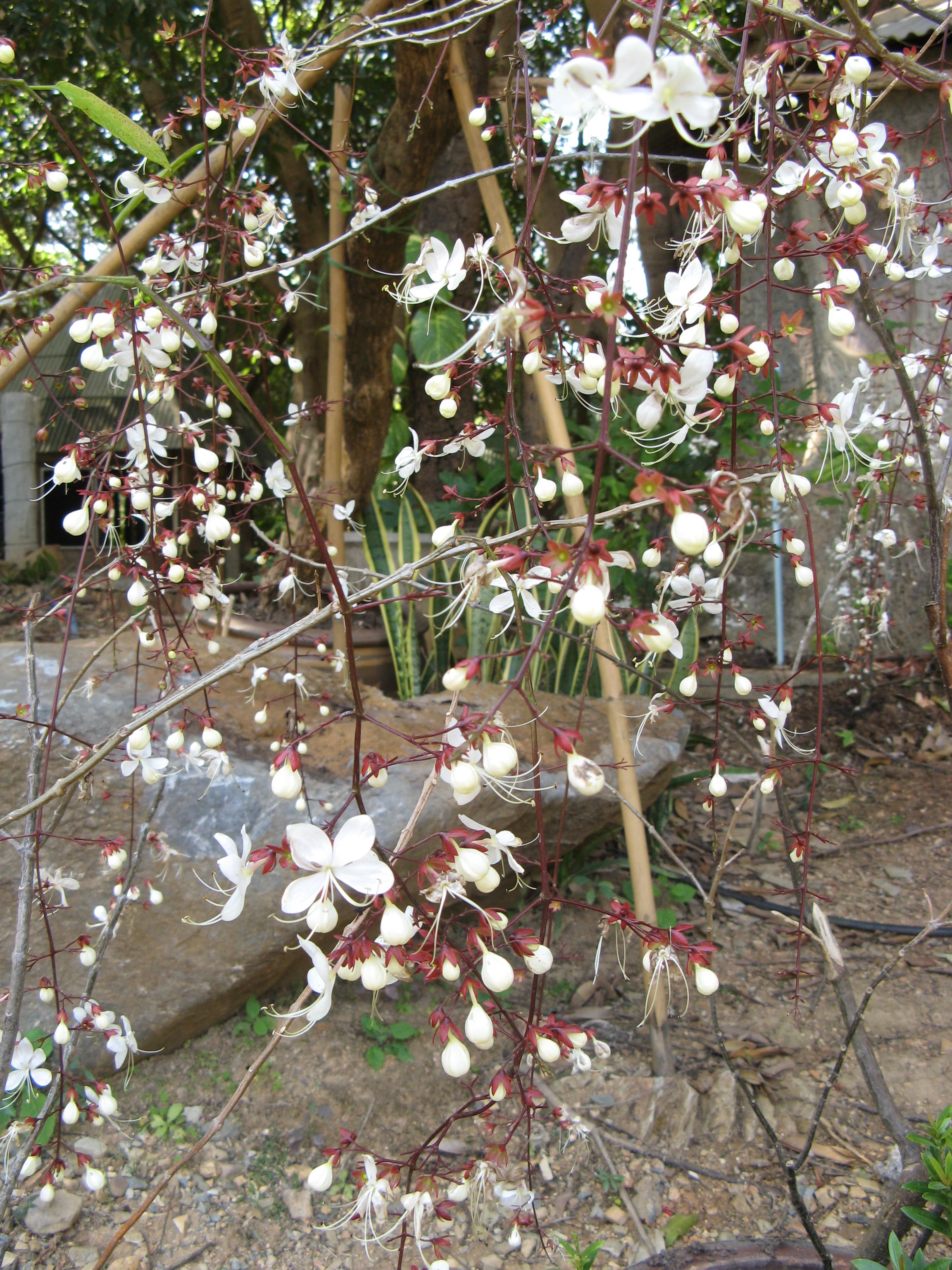 File:Clerodendrum wallichii01.JPG - Wikimedia Commons