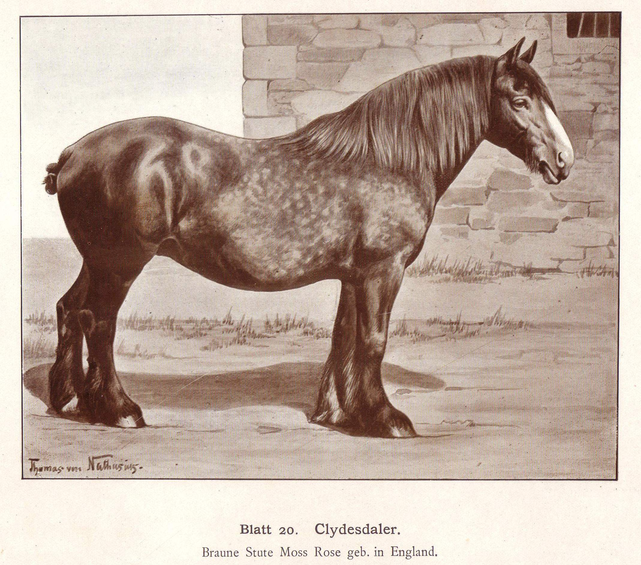 File Clydesdale Draw Jpg Wikipedia