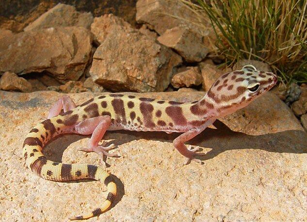 Western banded gecko - Wikipedia Leopard Gecko Eating