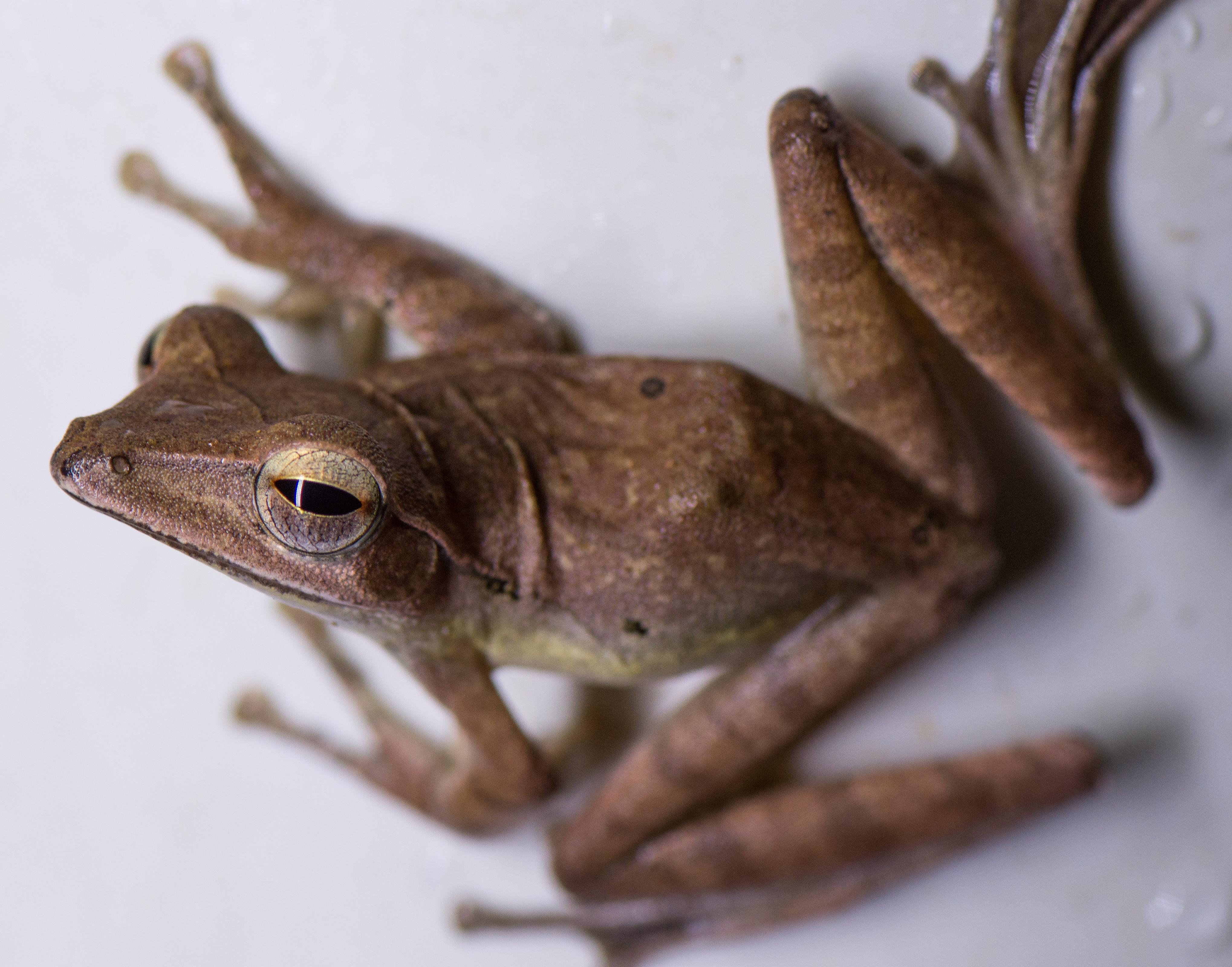 file common tree frog from kottayam kerala jpg wikimedia commons