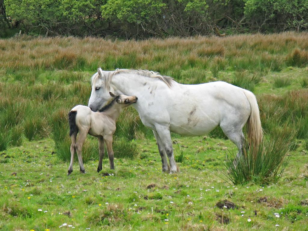 File:Connemara Connemara National Park Connemara Ponies