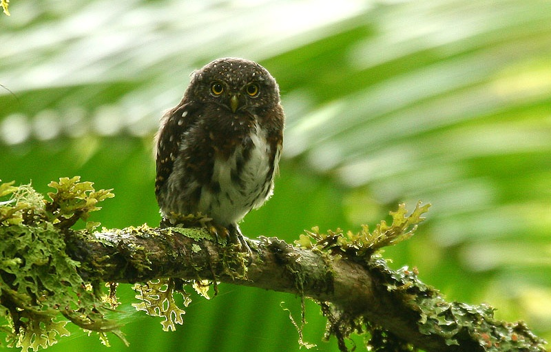 Ficheiro:Costa Rican Pygmy-owl (Glaucidium costaricanum) on branch.jpg
