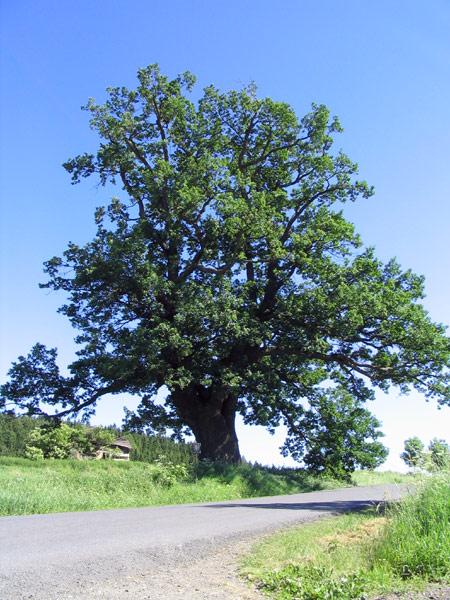 houppier du chêne pédoncule
