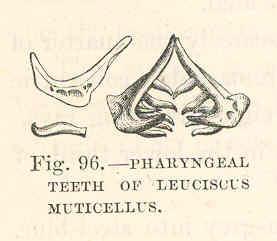 File:FMIB 48064 Pharyngeal Teeth of Leuciscus Muticellus.jpeg