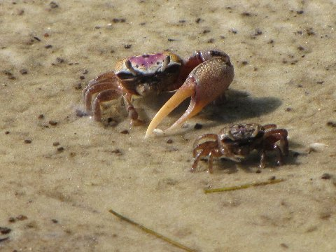 Male crab showing off his one big arm to a female.