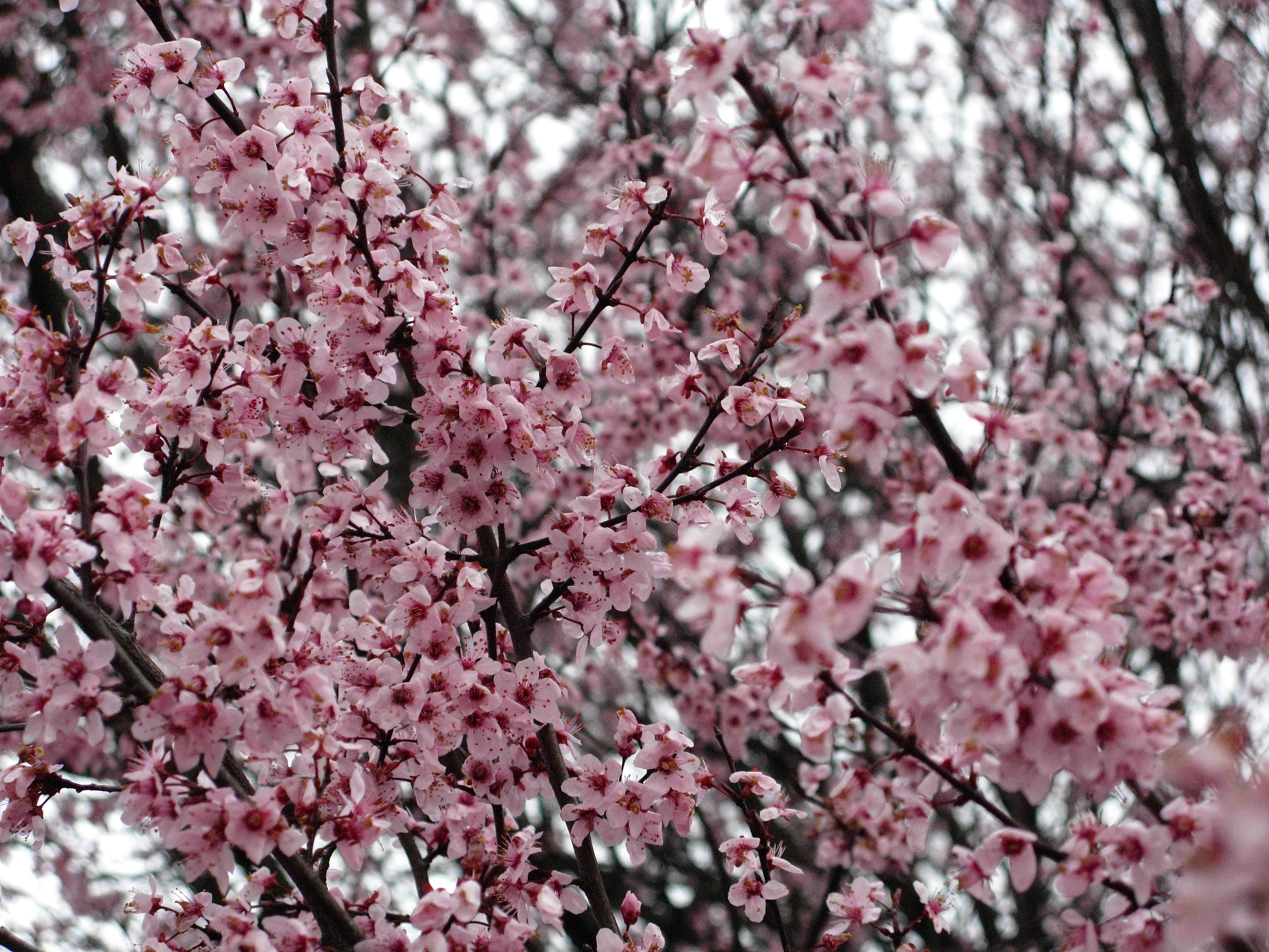 File Flowering plum pink purple West Virginia ForestWander Wikimedi
