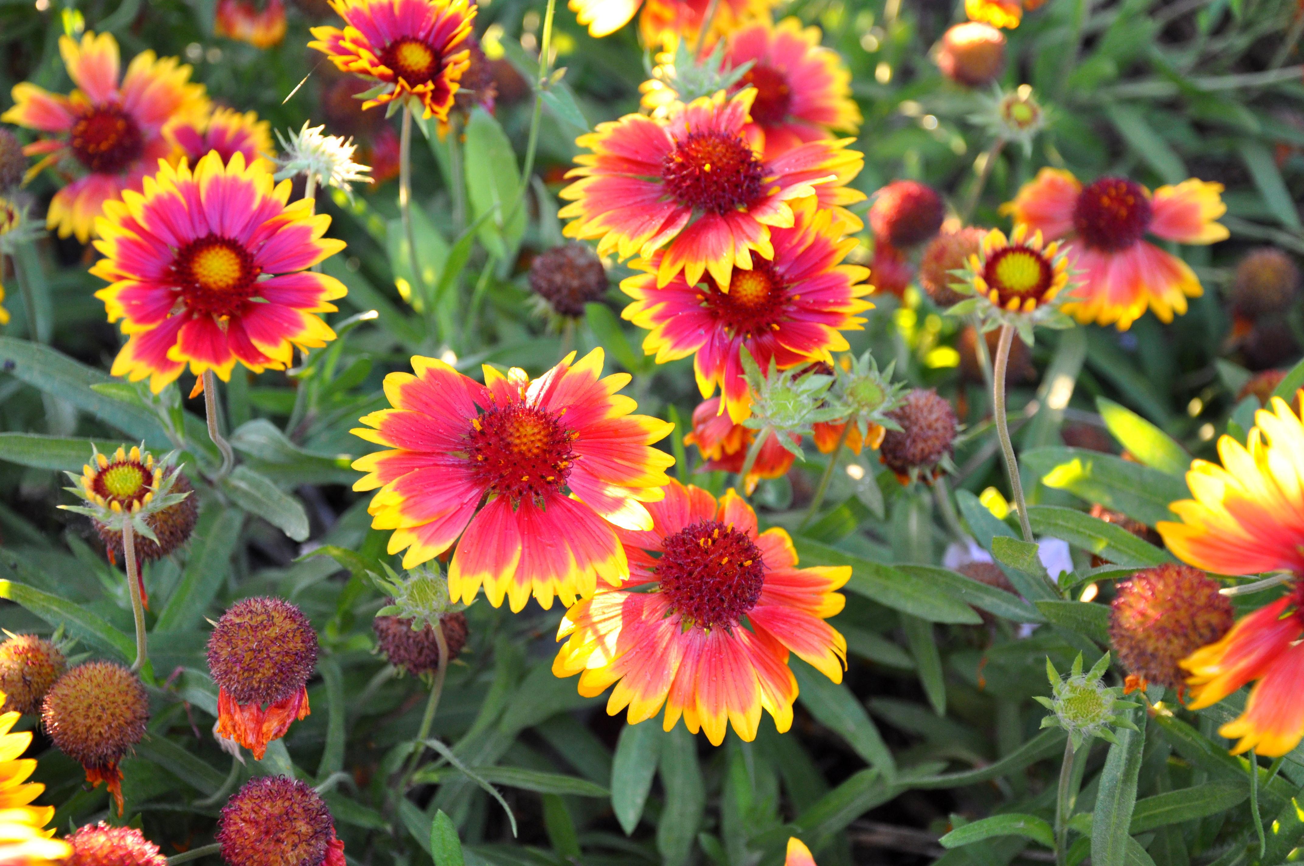 File Gaillardia grandiflora Blanket Flower გაილარდია JPG Wikimedia mons