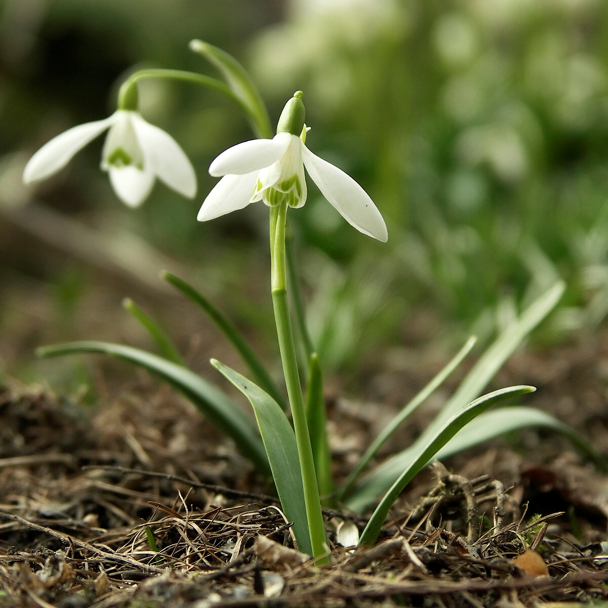 Galanthus - Wikipedia, the free encyclopedia