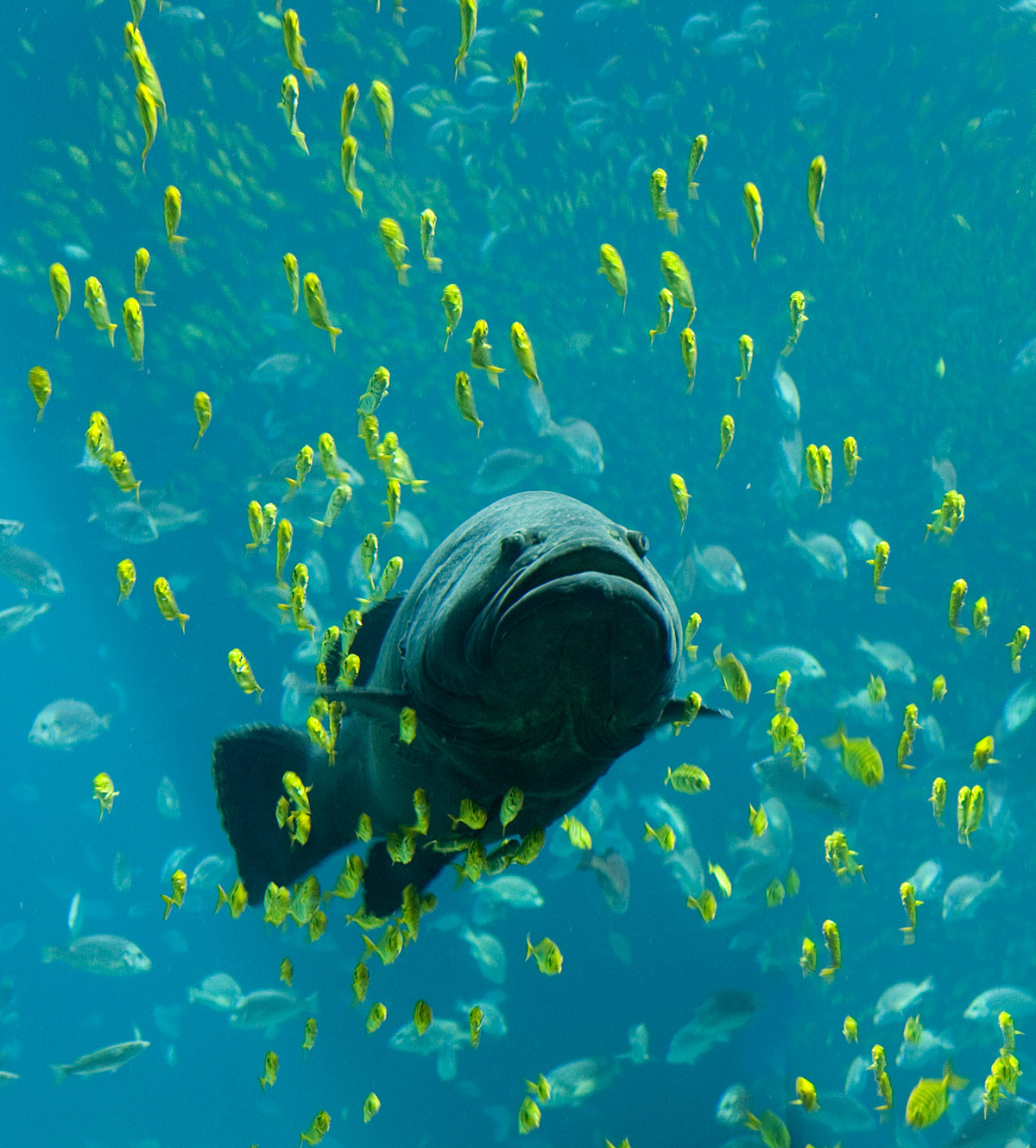 A giant grouper at the Georgia Aquarium, seen swimming among schools of other fish