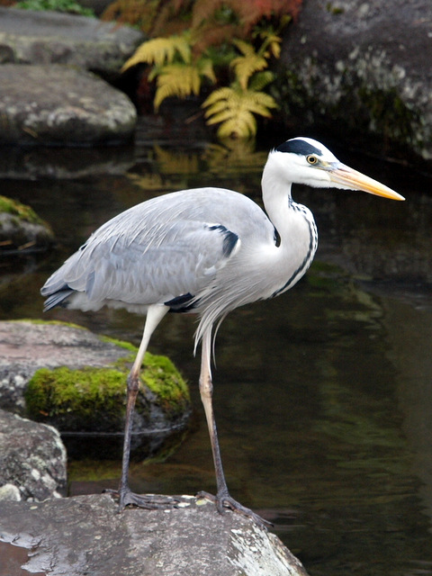 https://upload.wikimedia.org/wikipedia/commons/2/23/Grey_Heron_Dec._20%2C_2012.JPG