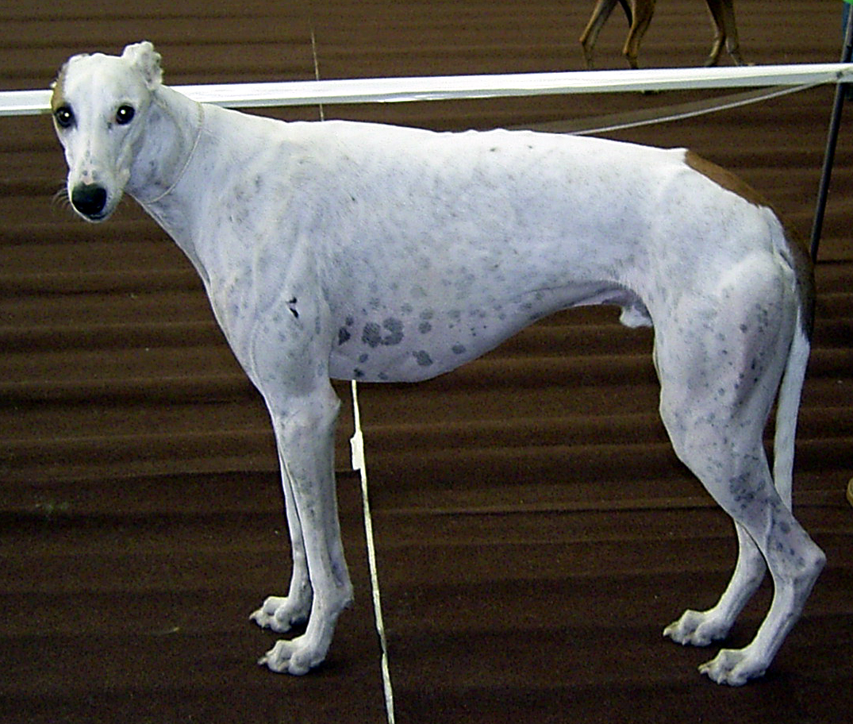 Gia Greyhound At Westminster Dog Show