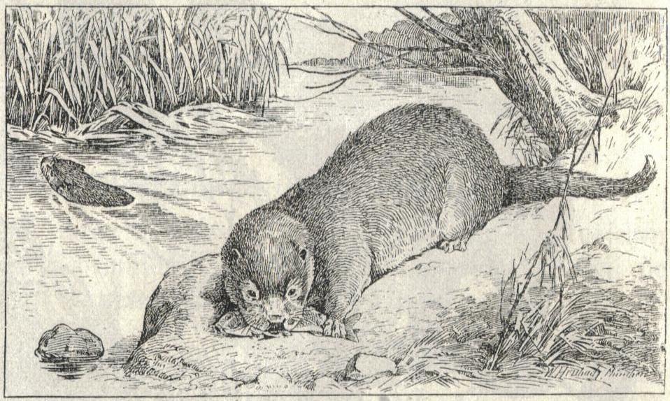 Heubach European Otter.jpg