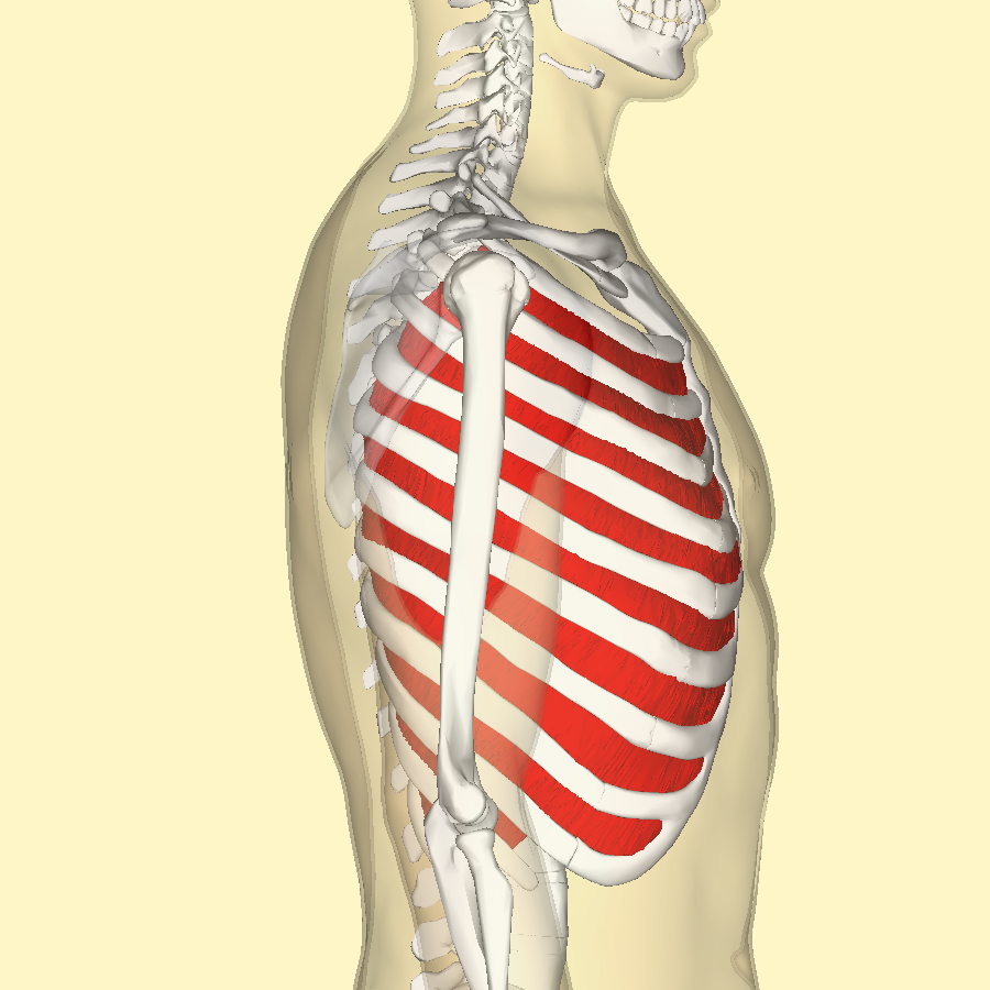 Fileinternal Intercostal Muscles Lateralg Wikimedia Commons