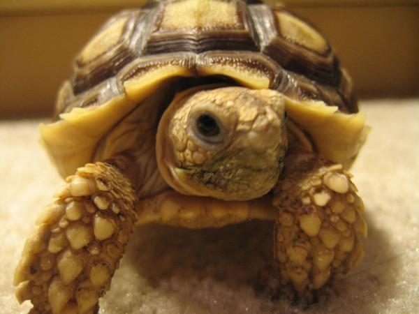 Pet Tortoise Types Adult male tortoise, south