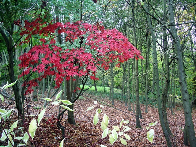 Japanese maple, Shipley Country Park - geograph.org.uk - 277781