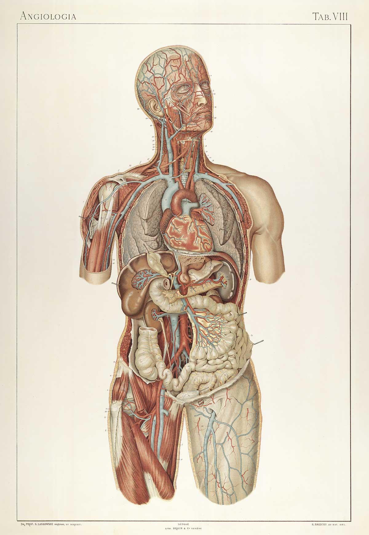 File:Laskowski Anatomie normale 08.jpg - Wikimedia Commons