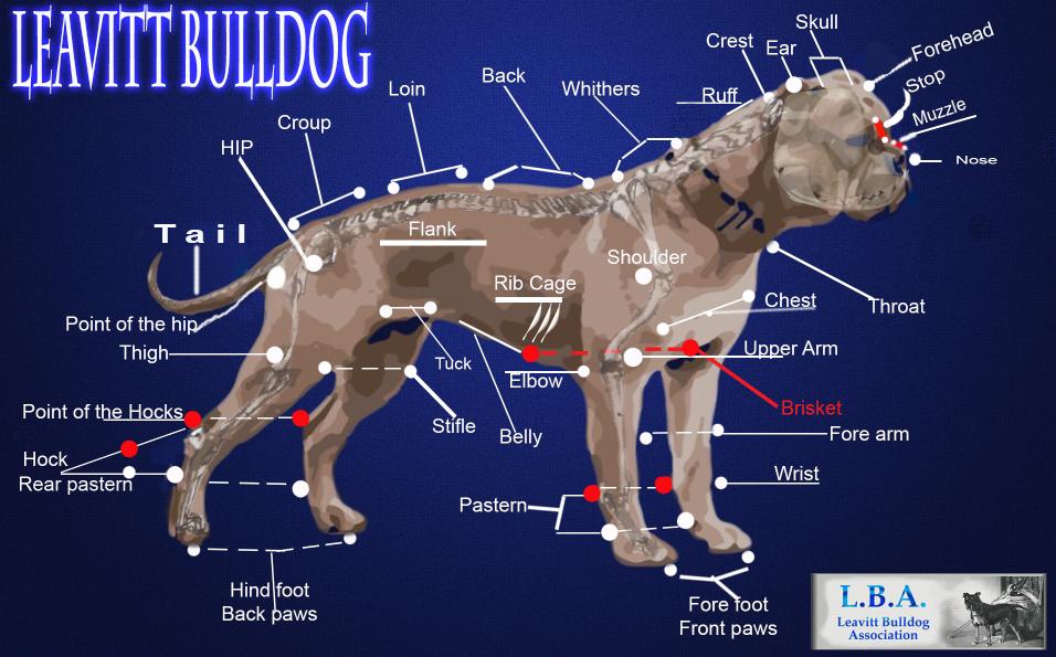 File:Leavitt bulldog body Diagram.jpg - Wikimedia Commons