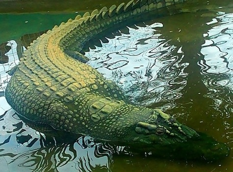 filelolong crocodilejpg wikimedia commons