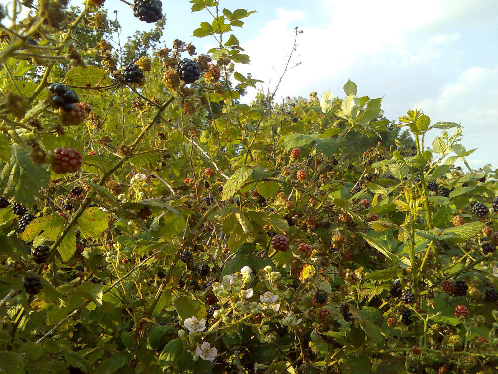Blackberry Bushes, The - Moon Pie