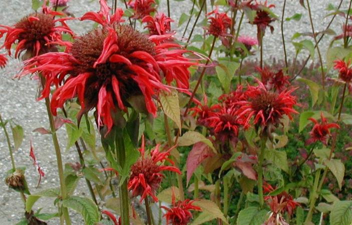 Monarda didyma, a native perennial