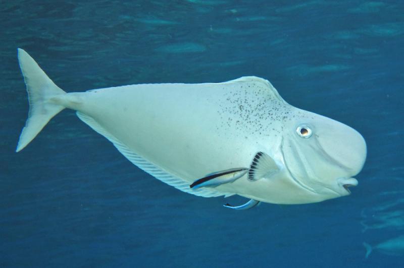 Naso tonganus wikipedia la enciclopedia libre for Show me pictures of fish