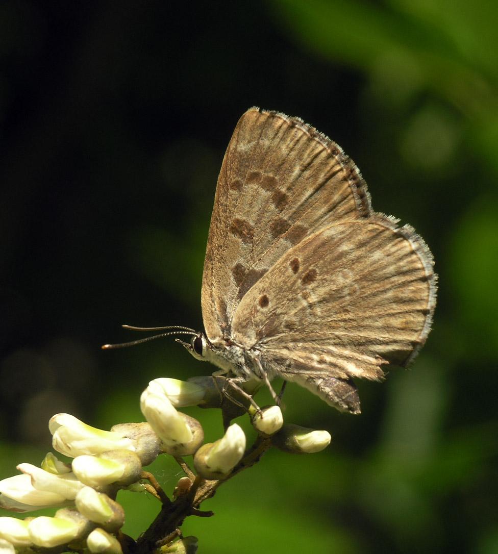 Niphanda fusca - Wikipedia