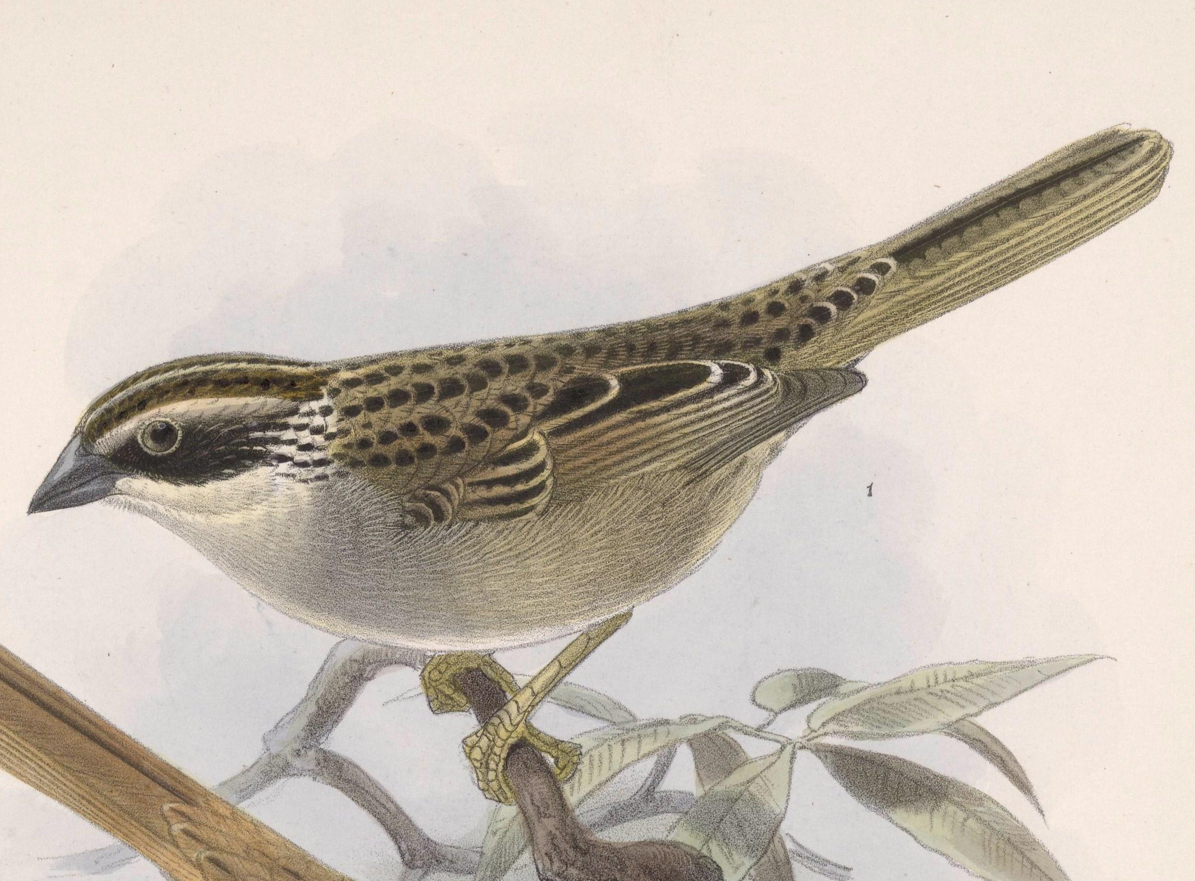 Image result for striped sparrow biologia centrali-americana
