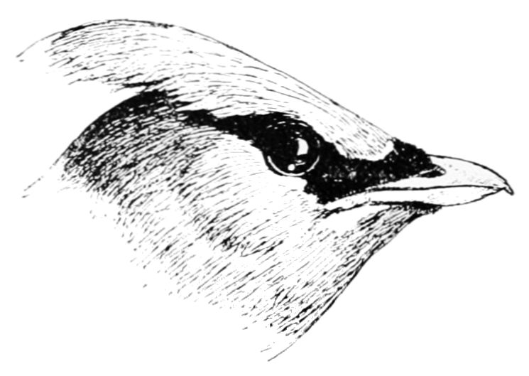PSM V47 D683 Head of cedar waxwing.jpg