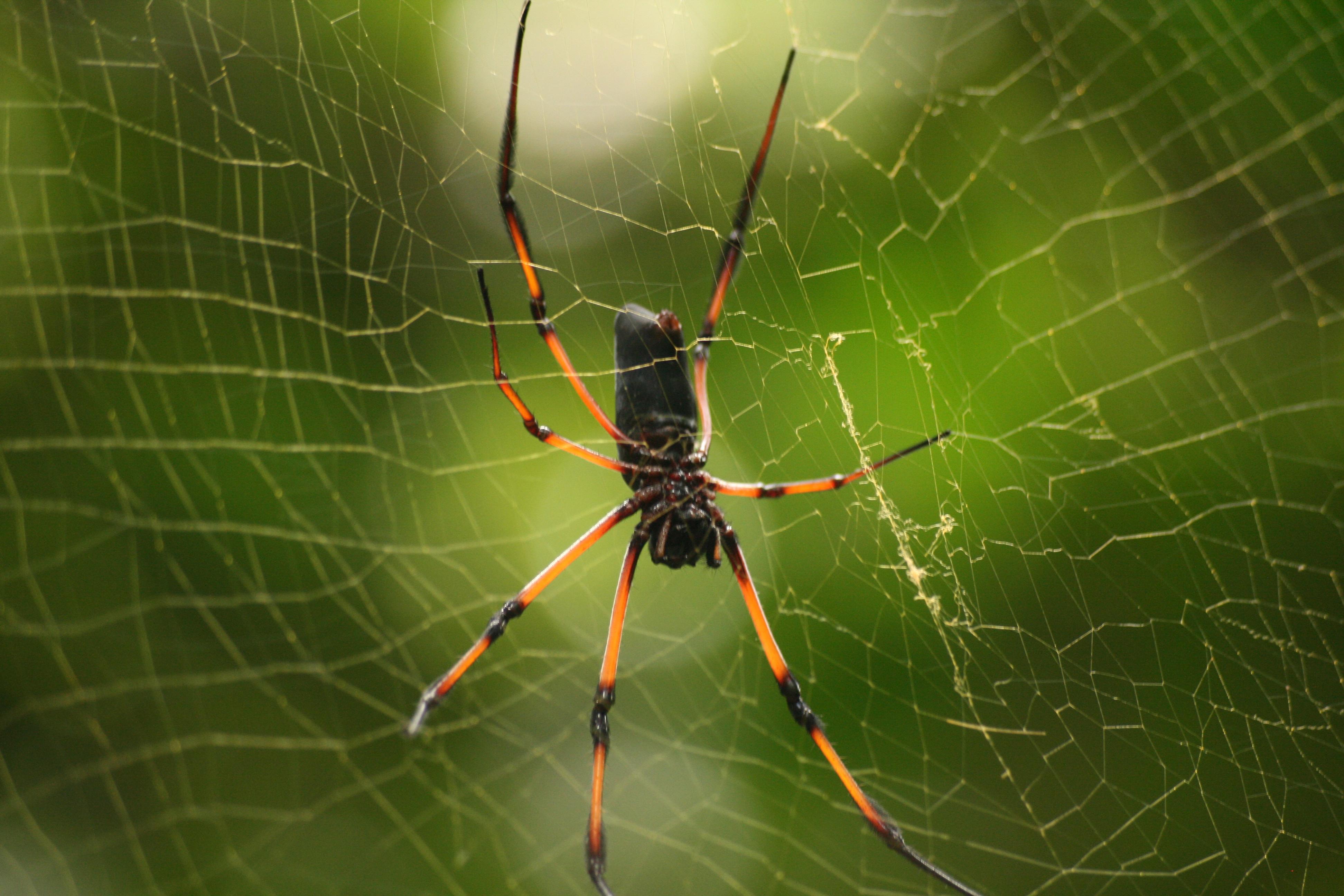 file palm spider nephila inaurata 2 jpg wikimedia commons